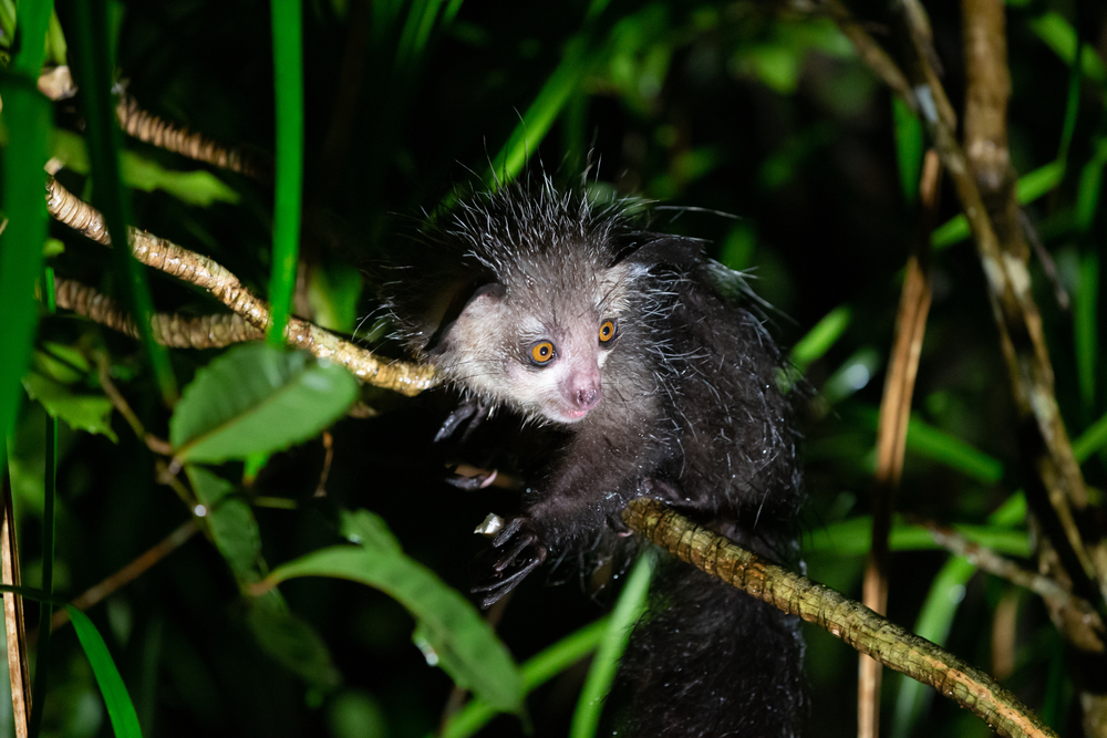 Aye-aye is the worlds largest nocturnal primate